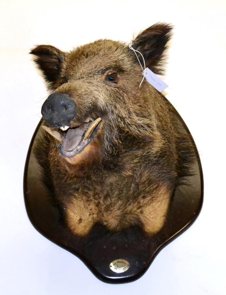 Tennants Auctioneers: European Wild Boar (Sus scrofa)